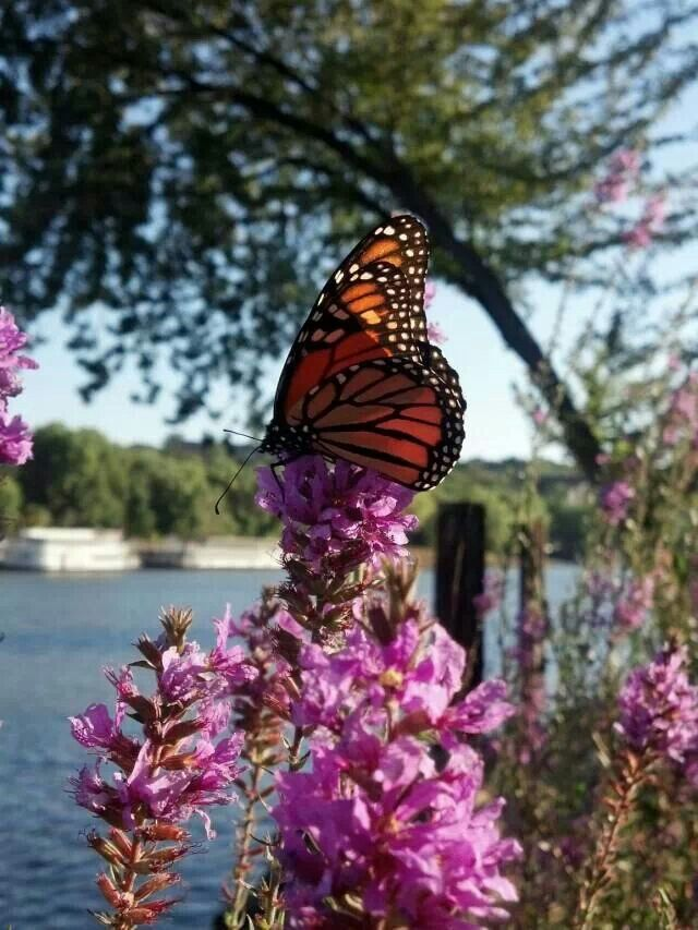 Monarchs Migrate To The Warmer Climates Of California, Florida And Mexico,  Making The Trip