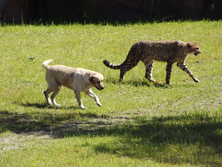 Cheetahs in zoos