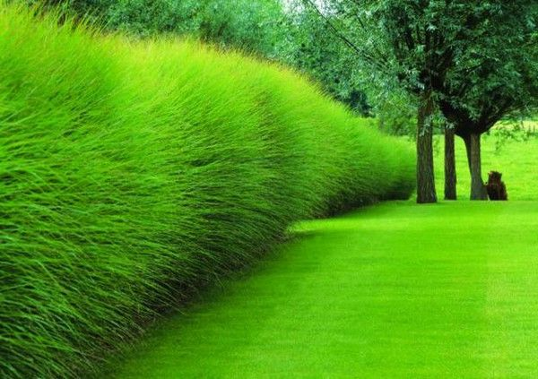 Instead of the hard lines of a hedge, consider the soft, cloud-like airiness of ornamental grasses.