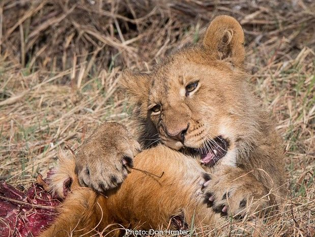 Feasting on a puku caught by his mother #lion #cub #Zambia #safari