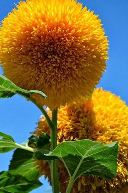 """Teddy Bear Sunflowers * 18-24"""", full sun, drought tolerant, grows quickly and easily from seed, great for cut flowers."""