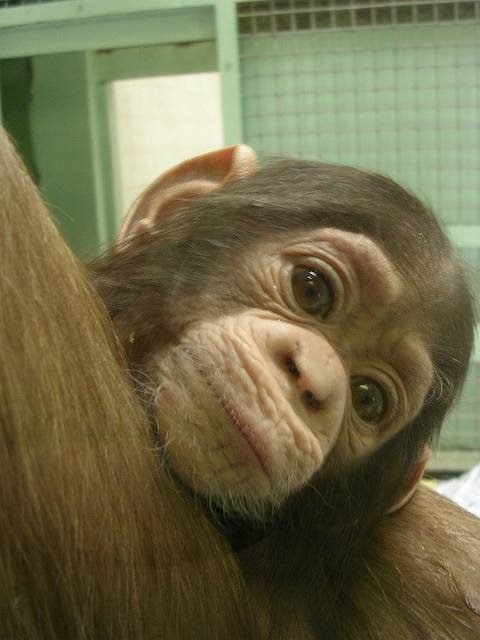 I <3 baby chimps!