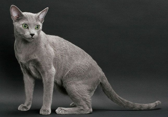 The Russian Blue is a cat breed that comes in colors varying from a light shimmering silver to a darker, slate gray. They develop close bonds with their owners and are sought out as pets due to their personalities, beauty, and coat. It is their short, dense coat which has been the hallmark of the Russian breed for more than a century. Russian Blues cost $400-$2,000