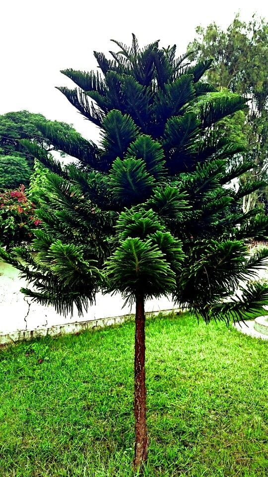 Araukaria tree