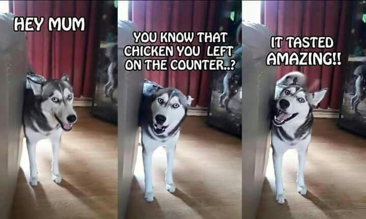 We have had huskies who did exactly this...counter-surfing...