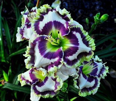 Born to be Wild (Pierce-G., 2013)height 32in (81cm), bloom 6.5in (16.5cm), season EM, Rebloom, Semi-Evergreen, Tetraploid, 30 buds, 6 branch...