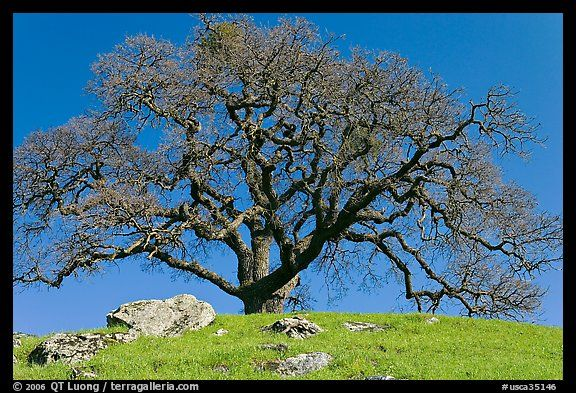 Bare oak tree and rocks on hilltop, Sunol Regional Park. SF Bay area, California, USA