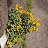 山野草■お初の花が殆ど■11/2平野部それも海に近い水田に移動し、午後の部の散策がはじまりました。地元の萩野さんご夫妻が案内してくださるので鬼に金棒です。後をついて行けばいいのですから・・・とはいえ自分で探す必要はありますが田圃のへりにラッキョウの花が群れて開花。午前中いた山ではヤマラッキョウは咲いていませんでしたがここのはきれいですねじっくりしゃがみこんで撮影しているうちに他の人とずいぶん離れています。「流れ星さんが行方不明だ」と言っていたそうです。10回シャッター切るとそれだけ離れるということです。大急ぎで歩いていくと見知らぬ花ノジアオイ(アオギリ科ノジアオイ属)熱帯アジア原産の帰化植物。四国、九州や琉球列島の海岸近くにはえる1年草シマイボクサ(ツユクサ科・イボクサ属)左の大きなのが「ツユクサ」右「シマツユ...シマツユクサ・シマイボクサなど