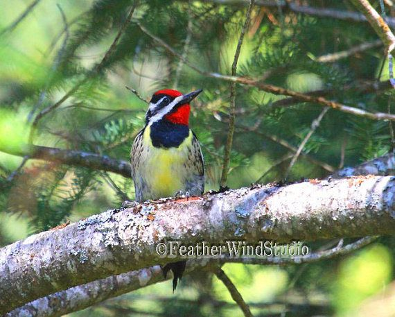 Yellow Bellied Sapsucker  Woodpecker by FeatherWindStudio on Etsy