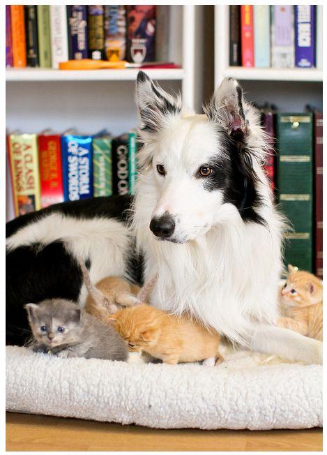 Border collie w/ kittens
