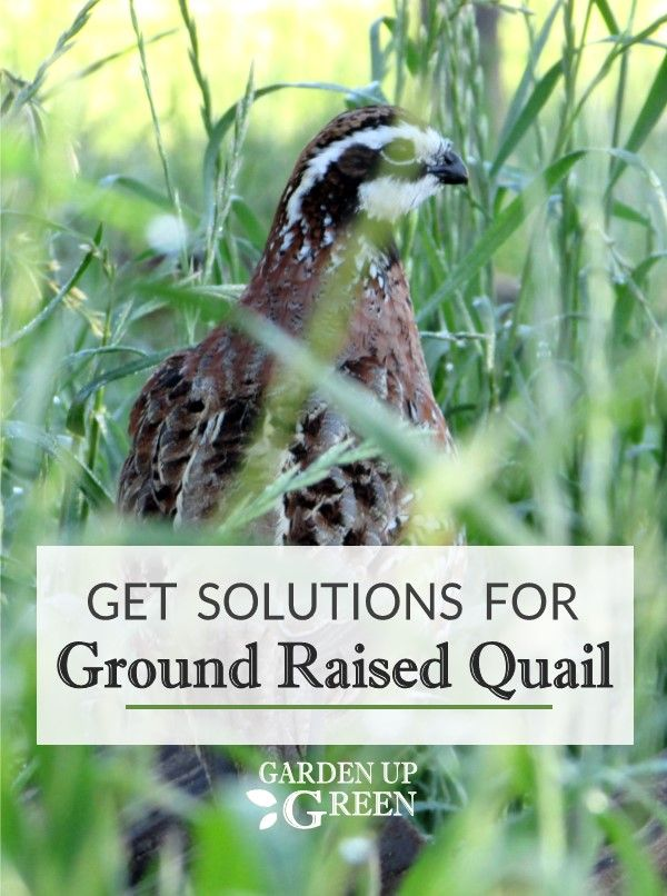 Get Solutions for Ground Raised Quail in 2020 | Quail ...