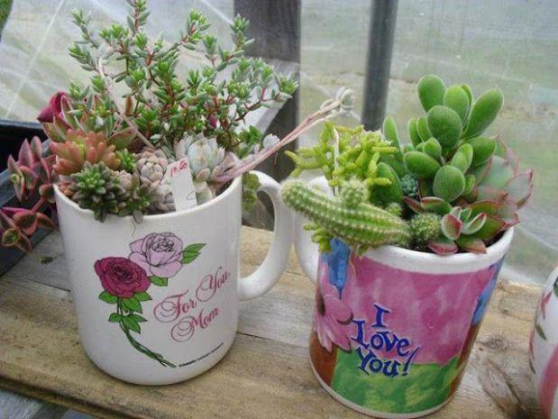 Vida Suculenta: Como plantar suculentas em xicaras: