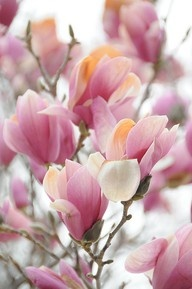 Japanese Magnolia- will always remind me of college.