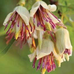Originating from Nepal and parts of China, this rare and unusual clematis has a fascinating growth habit.