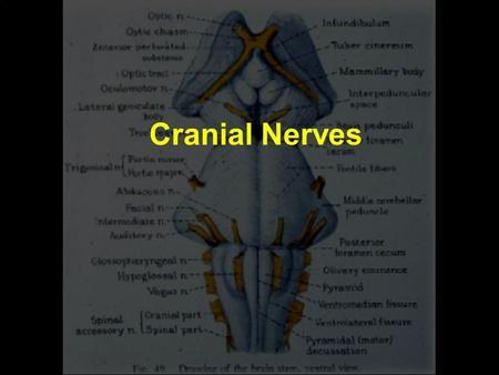 Cranial Nerves. IIIrd Nerve 3 Oculomotor Oculomotor nucleus (motoneurons for eye muscles) Oculomotor nerve (to eye muscles & pupil muscles) Edinger.>