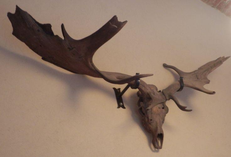 HUGE deer skull and antlers