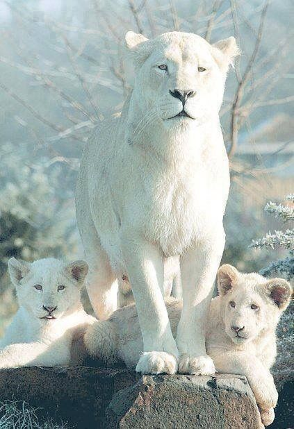 Beautiful white lion mother and cubs.