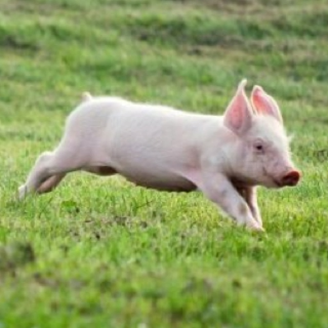 I love pigs.  How cute is this little guy.