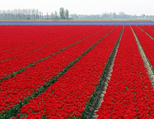 NetherlandsRed Sea, Tulip Fields, Holland, Red Carpets, The Netherlands, Gardens, Red Tulip, Places, Flower Fields