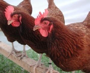Rhode Island Red- brown eggs                #VisitRhodeIsland