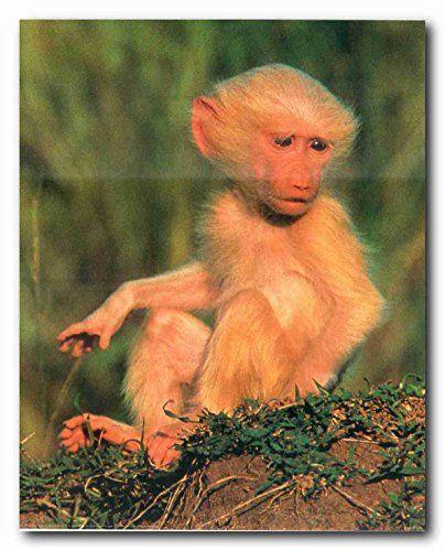 Albino Olive Baboon Baby Monkey Wildlife Animal Wall Deco... https://www.amazon.com/dp/B008P8DMRM/ref=cm_sw_r_pi_dp_x_hcaRyb18H9WXA
