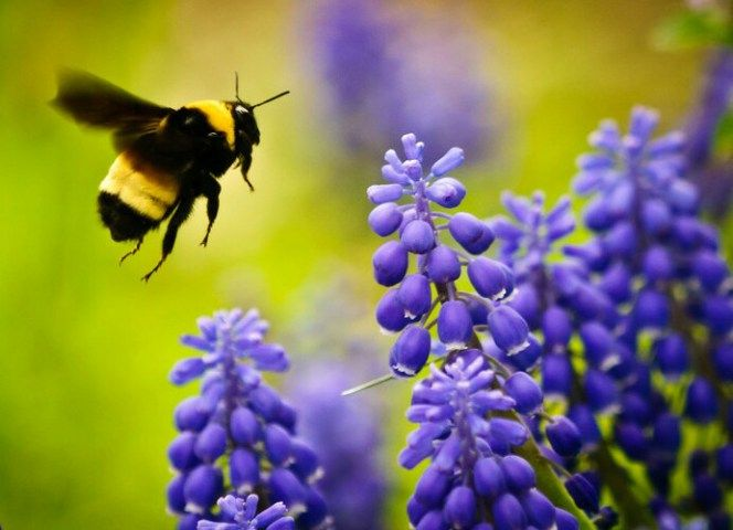 Learn how to make bee friendly garden to invite those lovely buzzing creatures to your garden.