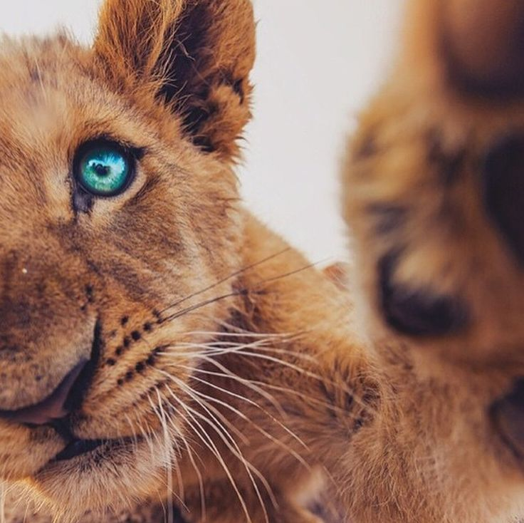Lion cub blue eyes Africa