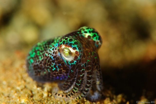 A Bobtail Squid. One of my new favorite little sea creatures. <3