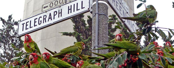 The parrots of Telegraph Hill, San Francisco