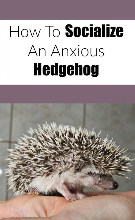 How To Socialize A Scared or Grumpy Hedgehog - http://franklovesbeans.com/2016/10/26/socialize-scared-grumpy-hedgehog/