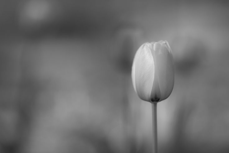 Tulips in grayscale by Raymond  on 500px