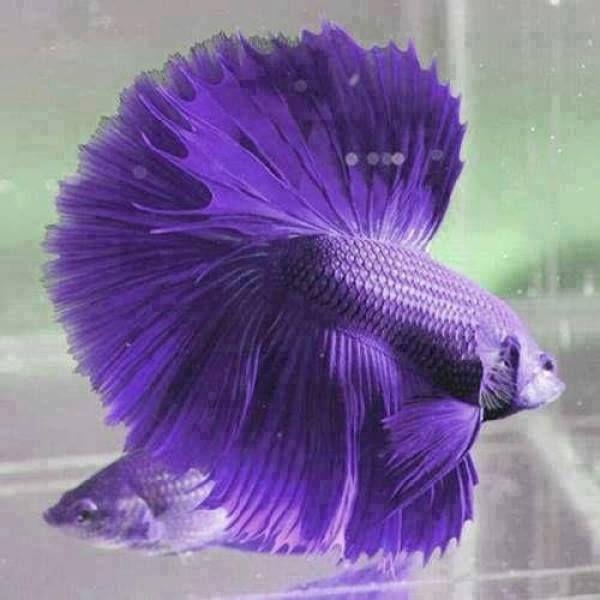 pretty purple betta fish betta fishes beautiful pinterest