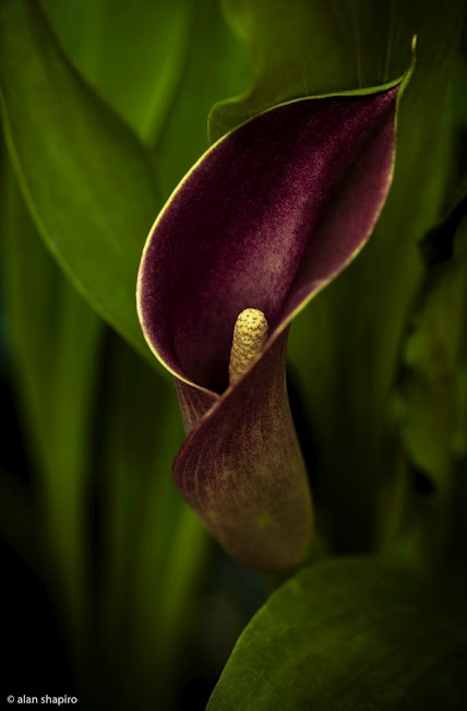 Calla Lilly #calla #callalilies #flowers #nature