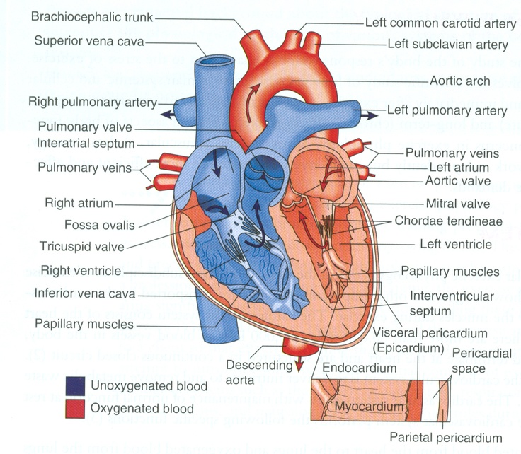 best 25+ diagram of the heart ideas only on pinterest | heart, Human Body