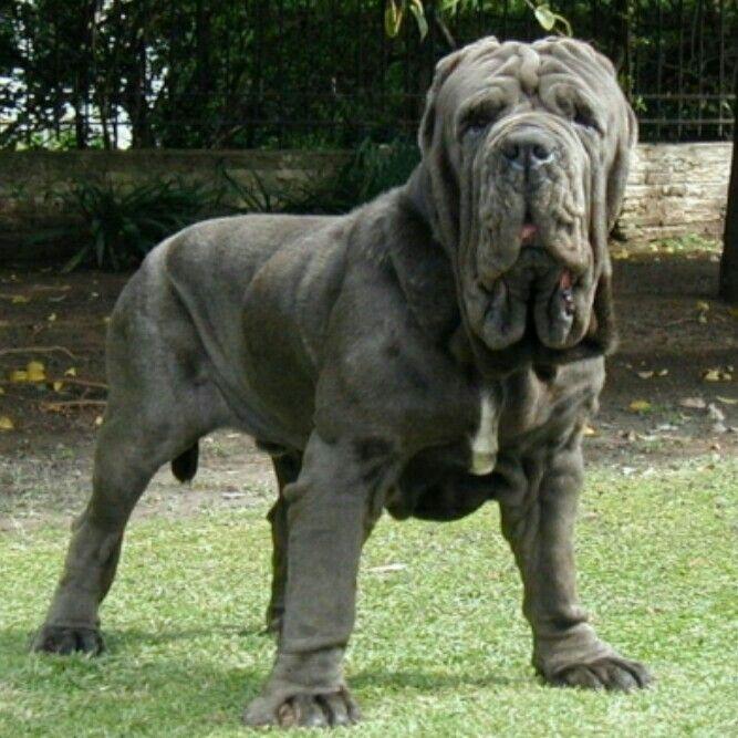 Hefty Neapolitan Mastiff