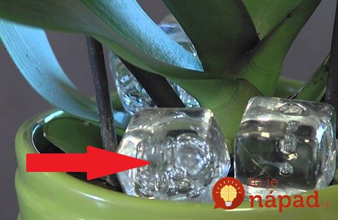 Do kvetináča s orchideou vložila kocku ľadu. O týždeň neskôr sa stal zázrak!