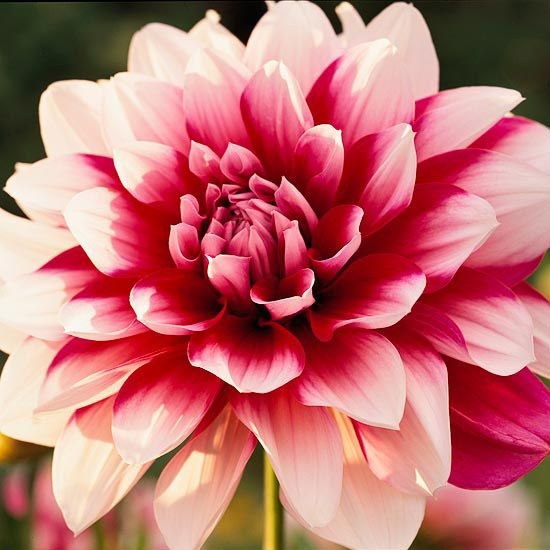 Beautiful dahlias produce blooms in nearly every color of the rainbow!