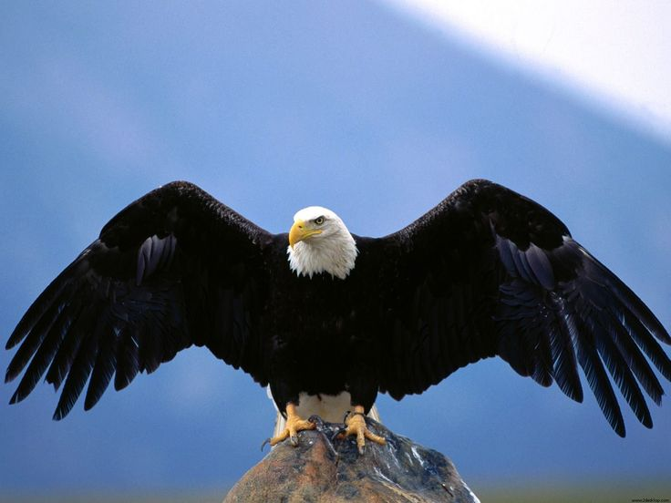 eagle hd wallpapers 1080p nature