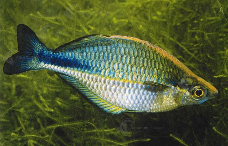 13 best images about aquarium industries fish on pinterest for Turquoise rainbow fish