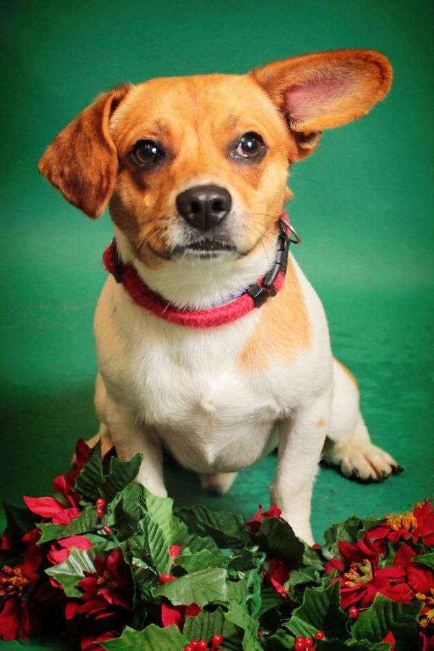 Fullerton - URGENT - City of Corsicana Animal Shelter, Corsicana, Texas - ADOPT OR FOSTER - 1 year old Male Beagle/Dachshund Mix