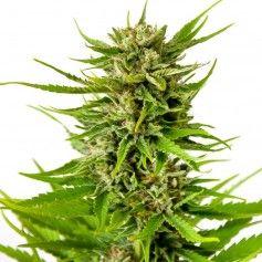 K2 feminized seeds