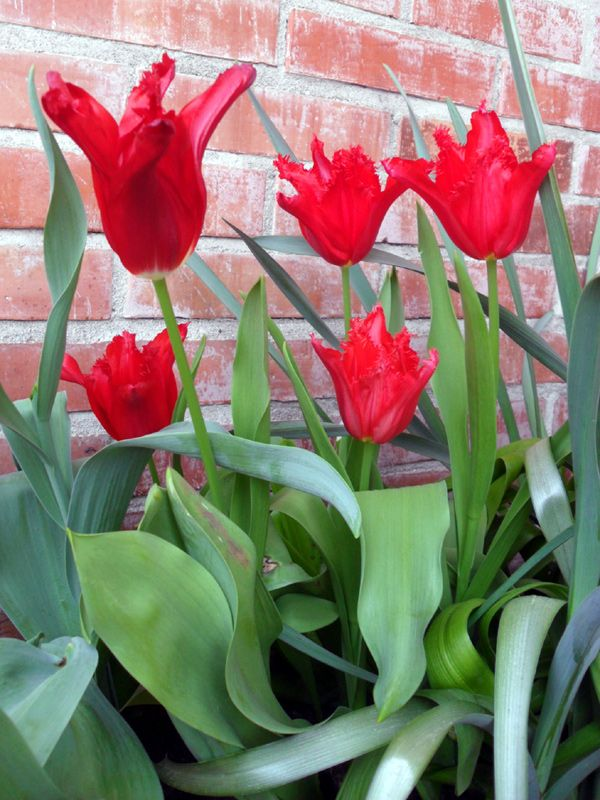tulipa.jpg 600×800 pixel