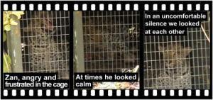 SHAYAMANZI Leopards Zan - November 2014 Wildland Article
