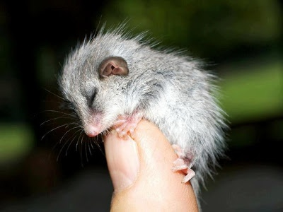 Eastern Pygmy Possum | discover-wd