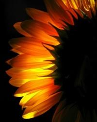 Floarea soarelui - importanta sursa de vitamina E, B1, B5, magneziu, seleniu si fosfor.