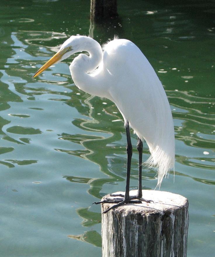 277 Best Great Blue Heron White Egret Images On Pinterest Blue
