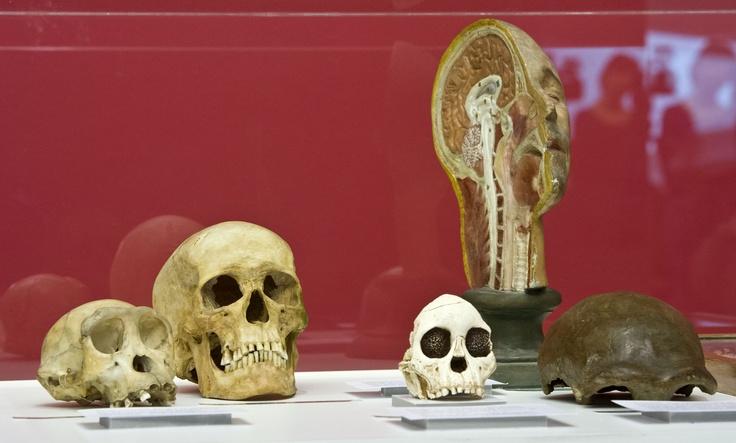 Réplicas de cráneos procedentes del Centro UCM-ISCIII de evolución y comportamientos humanos.