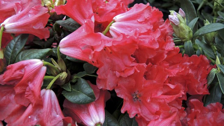 Rhododendron düngen: Kaffeesatz ist ein Top-Dünger