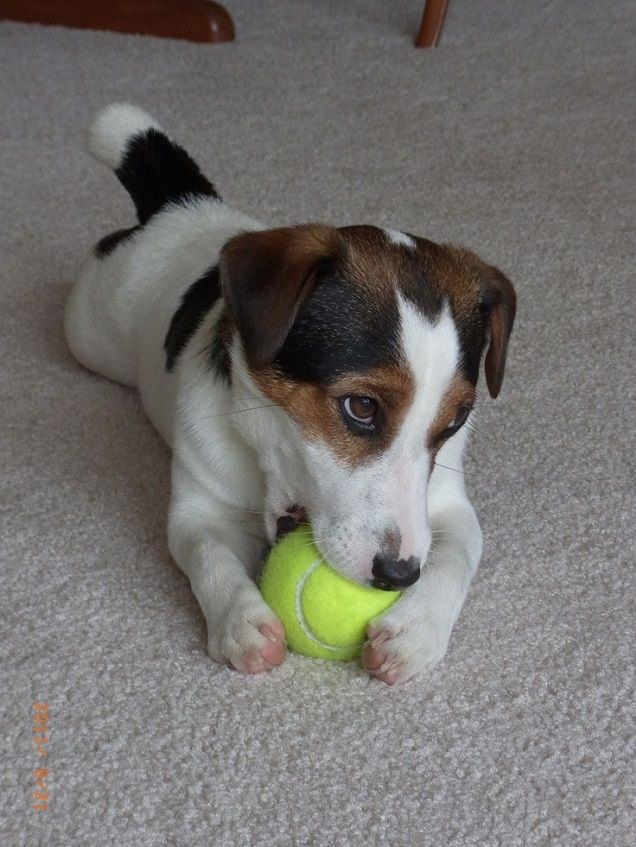16 Reasons Jack Russells Are Not The Friendly Dogs ...
