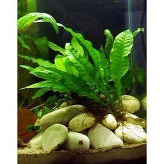Microsorum pteropus Java fern - Liverpool Creek Aquariums